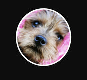 Yorkie Circle. Photo of a cute little yorkie terrier cropped in a circle on black mat royalty free stock photos
