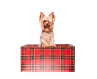 Yorkie come regalo Immagine Stock