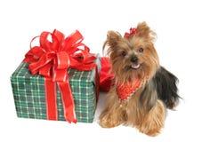 Yorkie con el regalo de la Navidad Imagenes de archivo