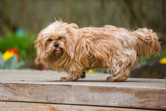 Yorkie cross Royalty Free Stock Photography