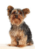 Yorkie dog. Cute little yorkshire terrier dog, isolated on white Stock Photos