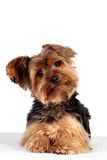 Yorkie dog Royalty Free Stock Images