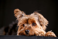 Yorkie dog Royalty Free Stock Photos