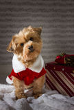 Yorkie dog with Christmas present. Christmas dog with present. Dog wearing Christmas outfit waiting to open its present stock image