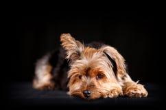 Yorkie dog Royalty Free Stock Image