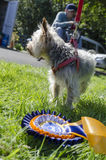 Yorkie dog with rosette Stock Image