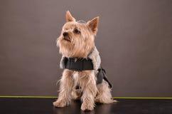 Yorkie dog Stock Images