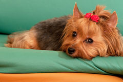 Yorkie is dreaming about her sweetheart Stock Photography
