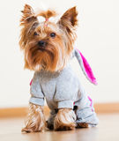 Yorkie dressed in overcoat Royalty Free Stock Images