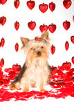 Yorkie en el fondo blanco con los corazones rojos Imagen de archivo