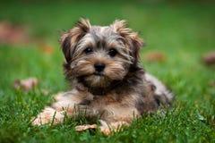 Yorkie en Tzu Gemengd Puppy Shih Royalty-vrije Stock Afbeeldingen