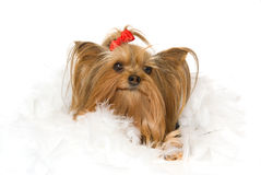 Yorkie with feather boa, on white background Royalty Free Stock Photography
