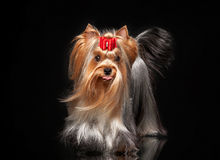 Yorkie female dog on black background. Young Yorkie female dog on black background Stock Photography