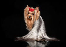 Yorkie female dog on black background. Young Yorkie female dog on black background Stock Image