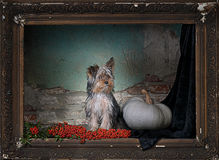 Yorkie in the frame Stock Photos