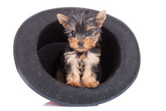 Yorkie in a hat Stock Photos