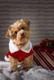 Yorkie-Hund mit Weihnachtsgeschenk Stockbild