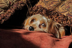 Yorkie Hundeschauen Lizenzfreie Stockfotos