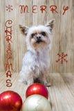 Yorkie jul klumpa ihop sig tillsammans Fotografering för Bildbyråer