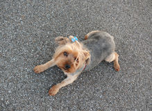 Yorkie lying. Yorkshire terrier breed dog lying looking at camera royalty free stock photo