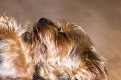 Yorkie lying on his back Royalty Free Stock Photo