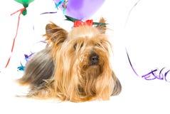 Yorkie met partijballons Stock Foto's
