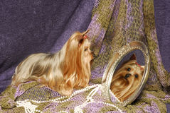 Yorkie in a mirror Royalty Free Stock Photo