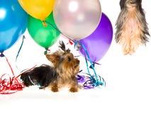Yorkie mit den Ballonen, die Welpen überwachen, oben in einer Luft zu treiben Stockfotografie