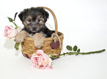 Yorkie Mix Puppy Royalty Free Stock Photography