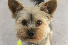 Yorkie Natural Royalty Free Stock Photography