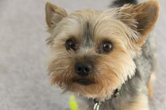 Yorkie Natural Royalty Free Stock Image