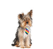 Yorkie with necktie Royalty Free Stock Photography