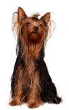 Yorkie novo com cabelo oleoso Fotos de Stock Royalty Free