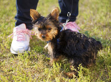 Yorkie out for a walk Stock Photos