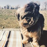 Yorkie in the park royalty free stock photos