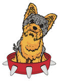 Yorkie peek up from collar. Smiling yorkshire terrier stick out from large red collar Royalty Free Stock Photo
