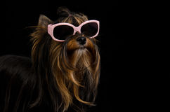 Yorkie with pink sun glasses. Against black background royalty free stock images