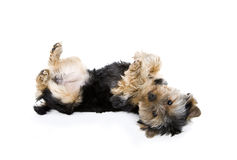 Yorkie playing dead Stock Photos
