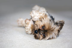 Yorkie playing dead Royalty Free Stock Images