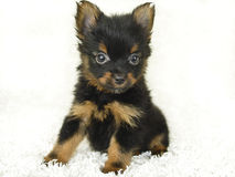 Yorkie - Pom Puppy Royalty Free Stock Photos