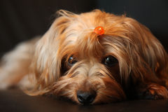 Yorkie poo cuteness. Pet dog yorkie poo  watching intently Royalty Free Stock Photos