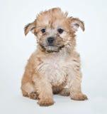 Yorkie Poo Puppy Stock Photo