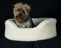 Yorkie Portrait. An adorable Yorkshire Terrier Royalty Free Stock Photography