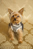 Yorkie Portrait. Photograph of a small dog in an animal rescue shelter Royalty Free Stock Photos