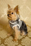 Yorkie Portrait. Photograph of a small dog in an animal rescue shelter Royalty Free Stock Photo