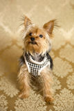 Yorkie Portrait. Photograph of a small dog in an animal rescue shelter Royalty Free Stock Photography