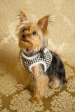 Yorkie Portrait Stock Images