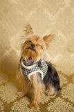 Yorkie Portrait Royalty Free Stock Photo