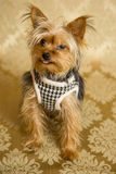 Yorkie Portrait. Photograph of a small dog in an animal rescue shelter Stock Photos