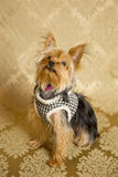 Yorkie Portrait. Photograph of a small dog in an animal rescue shelter Royalty Free Stock Image